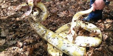 Na spacerze znalazł 3-metrowego węża!