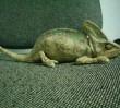 Mieszkaniec Bemowa znalazł kameleona!