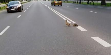 Przeprawa kaczek przez Aleje Ujazdowskie [WIDEO]
