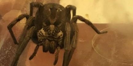 Wilanów. Znalazł jadowitego pająka w bagażniku samochodu