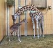 W ZOO urodziła się żyrafka! [ZDJĘCIA]