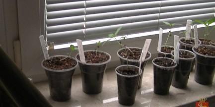 Kilogram marihuany i sadzonki na Mokotowie