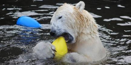 Urodziny białych niedźwiedzi z warszawskiego ZOO [ZDJĘCIA]