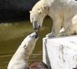 Urodziny niedźwiedzi. Z prezentem do zoo wejdziesz za darmo!