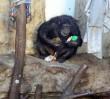 Prezenty dla goryli i szympansów z warszawskiego ZOO [ZDJĘCIA]