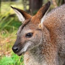 Po Sadybie biega... kangur!