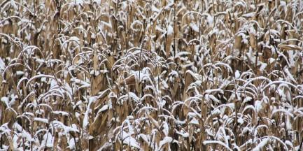 Ukradł 2 tony kukurydzy