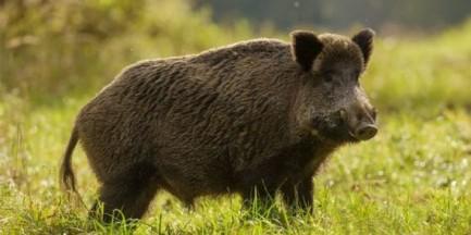 Dwa martwe dziki znalezione w Legionowie. Były zarażone afrykańskim pomorem świń