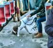 """""""Pies bez kagańca panem tramwaju"""""""